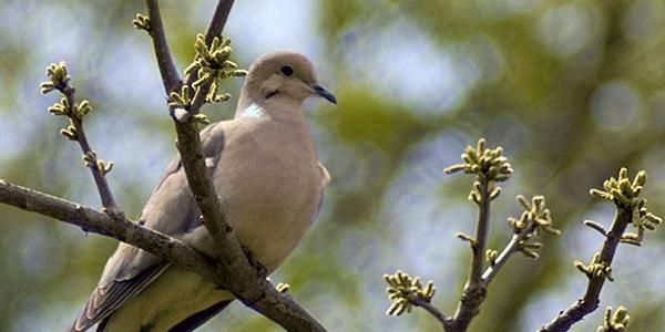 Dove in tree blurred backdrop
