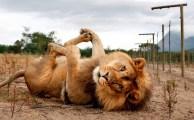 [Pierre Kerner / Taupo] Strange and Funky Lion