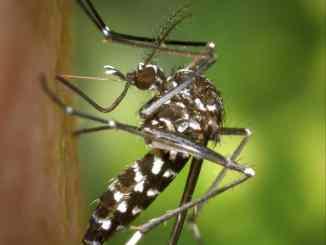 Le moustique tigre est un nuisible très présent dans le Rhône...Il appartient à chacun de combattre contre sa prolifération, selon l'ARS