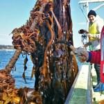 漁師さんの指導のもと、ワカメの収穫を自分の手で体験できます。