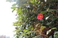 椿の花がお出迎え