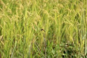 南三陸町のお米生長日記2021 (9月更新)