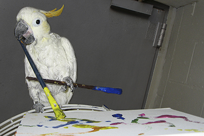 Bobby, Citron Cockatoo, creating an abstract painting using his beak and foot to hold two paint brushes
