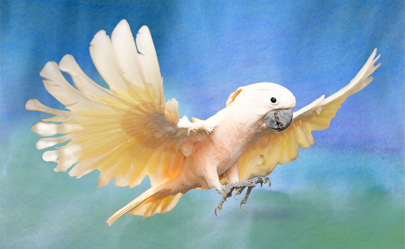Photo of Peaches, Moluccan Cockatoo, flying