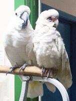 Two cockatoos, sitting close to each other on a bird stand