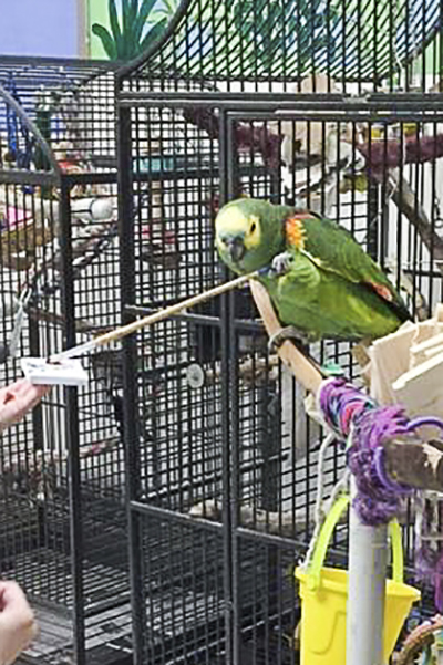 Prince Charming, Blue-Fronted Amazon, creating an abstract painting using his foot to hold the brush