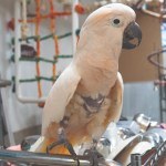 A Moluccan Cockatoo standing on a stainless cart, looking directly at the camera