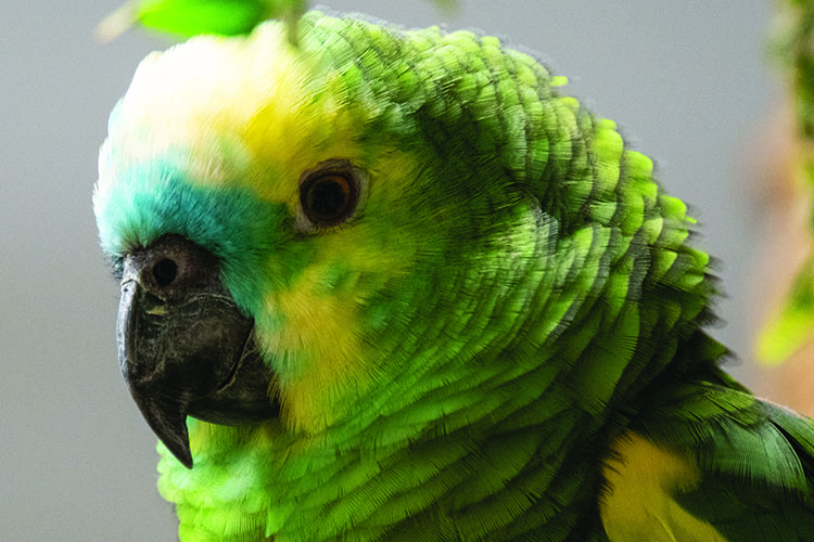 Close up of a Blue-Fronted Amazon, showing the head and part of the shoulders