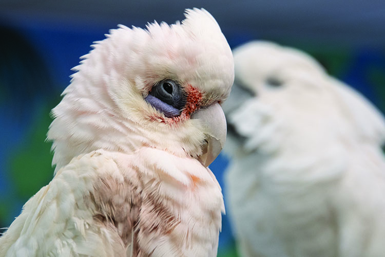 Close-up of a Bare-Eyed Cockatoo with a blurred Umbrella Cockatoo in the background