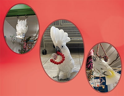 3 photos of an Umbrella Cockatoo in oval frames, 1 hanging upside-down from a door frame, 1 walking towards the camera with a red toy, and the 3rd hanging by a foot from a triangle rope swing