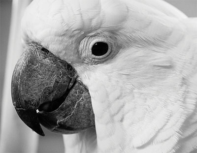A black and white extreme close-up of an Umbrella Cockatoo, showing just the head, the eye looking directly at the camera