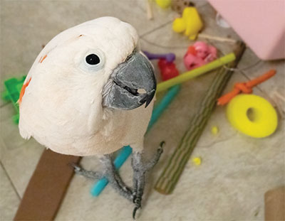 A Moluccan Cockatoo looking up at the camera from the floor, standing in a pile of bird toys