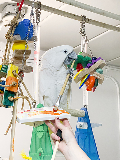 Bongo Bob, Umbrella Cockatoo, creating an abstract painting using his beak and a foot to hold the brush