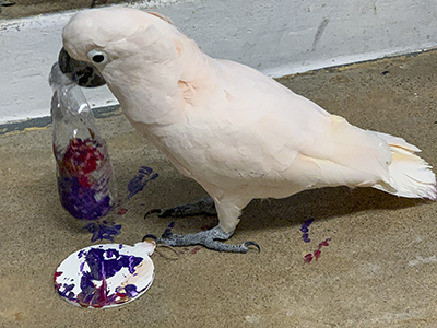 """Harry, Moluccan Cockatoo, creating an abstract painting using his beak to hold a water bottle he used as a """"brush"""""""