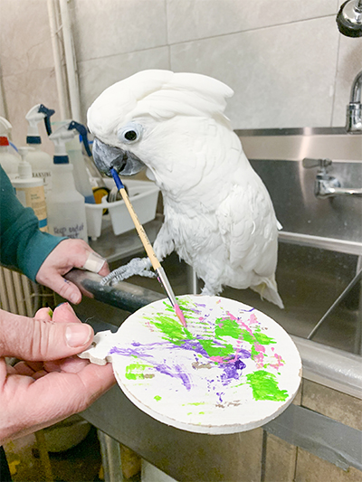 Sputnik, Umbrella Cockatoo, creating an abstract painting using his beak to hold the brush