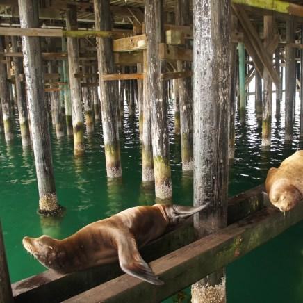 les lions de mer de Santa Cruz 1