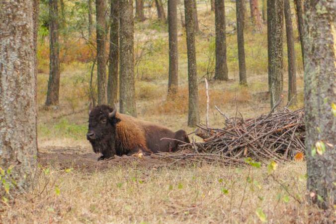 Bison Montana