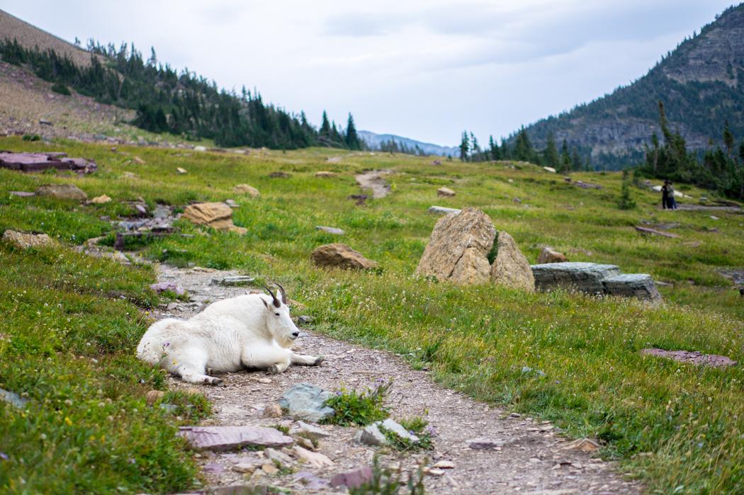 La chèvre de montagne - Glacier National Park