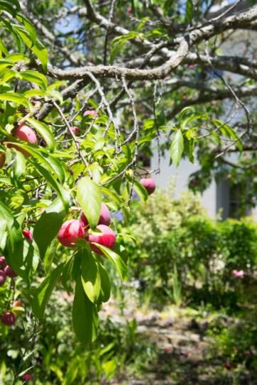 Des prunes à Monterey - Californie