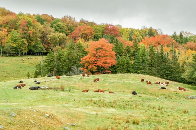 Les vaches dans le Vermont en automne