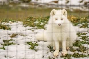 parc omega - renard arctique| www.maathiildee.com