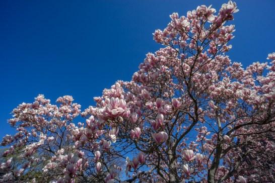 Printemps Boston floraison-10