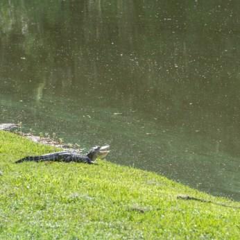Alligator - Middleton Place Charleston-4