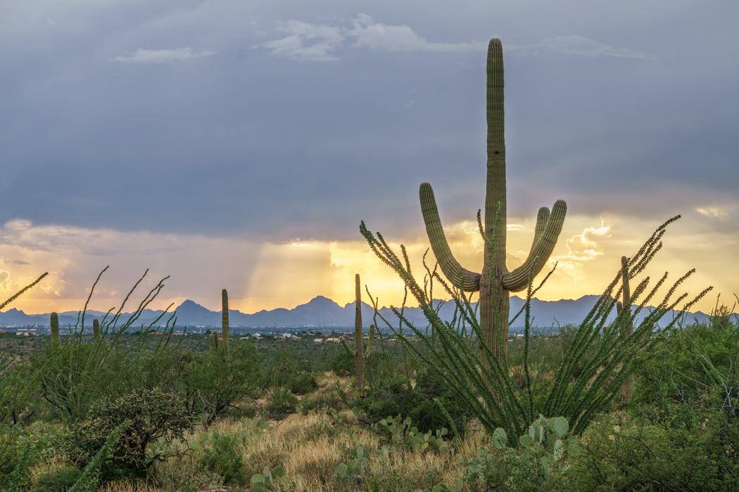 Saguaro Cactus Arizona-12