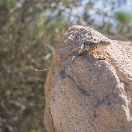 Tucson Arizona lezard