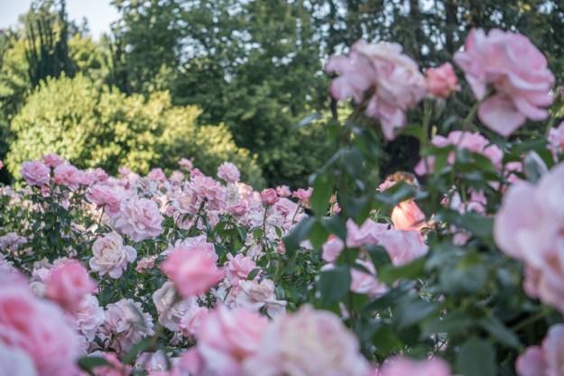 jardin des roses portland-oregon-18
