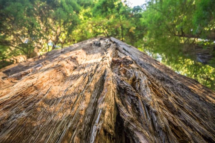 redwood-sequoia-california-17