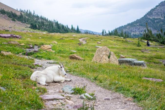 Chevre des montagnes Glacier Montana