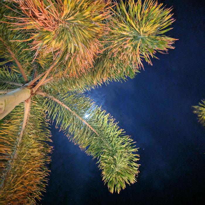 Palmiers la nuit