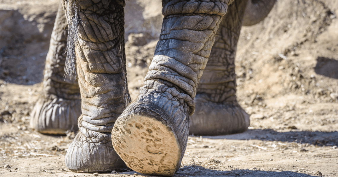 The Sole of an Elephants foot