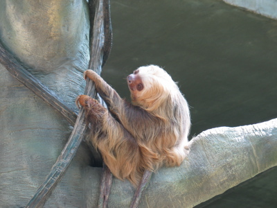 two-toed sloth pic