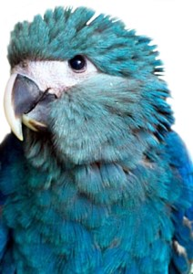 Spix Macaw Little blue macaw