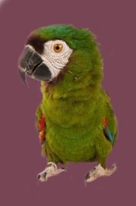 Baby_Green_macaw