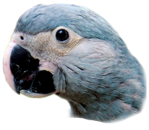 spix_little_blue_macaw