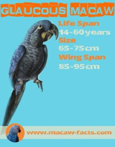 Gloucous Macaw span life wing weight