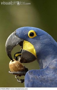 tongues of blue macaw