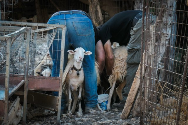 The Morning Milk (they can milk 100 sheep in around 30 minutes and get 50kg Milk (ISO 250 1/100th f5.7 143mm Leica C-Lux)