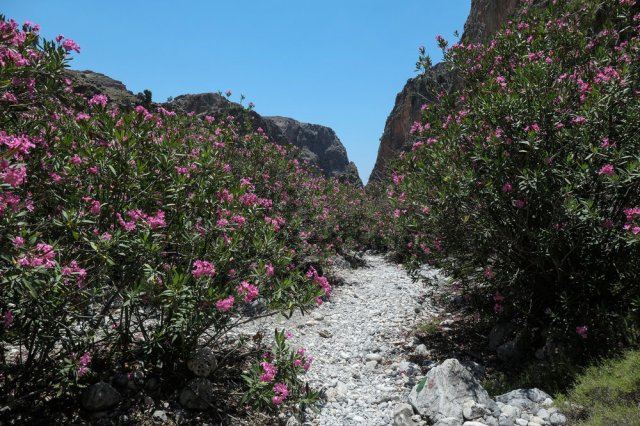 Oleander Trees in flower in the   Aradhena   Gorge (ISO 125 1/1000th f4.5 24mm Leica C-Lux)