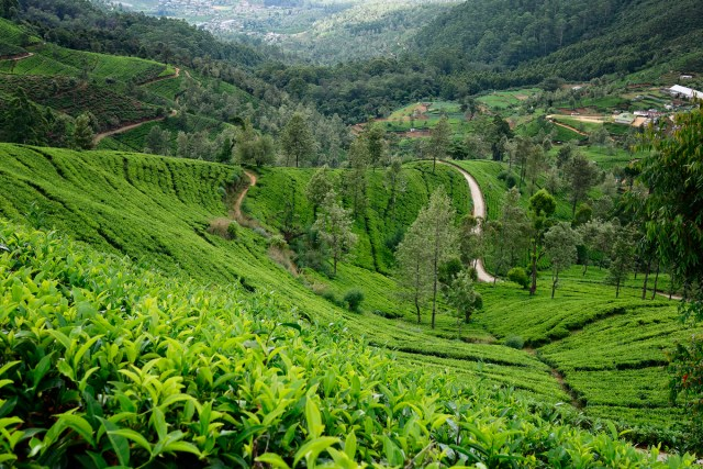 Hethersett tea plantation