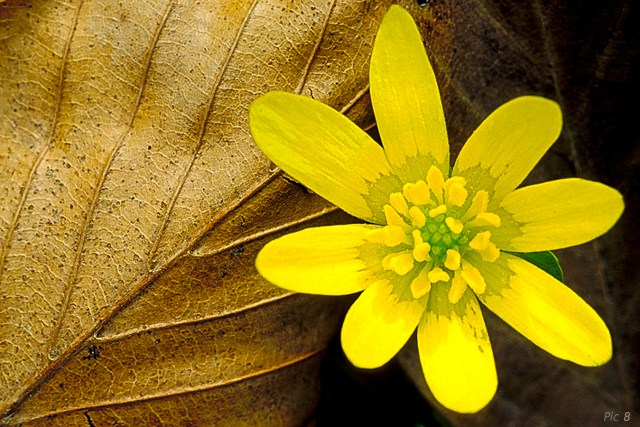 Celandine and leaf (Illustrating a point in the book)