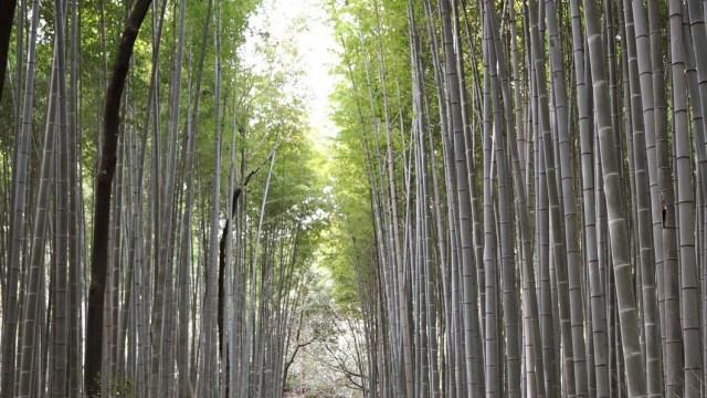 京都嵐山の竹林の画像