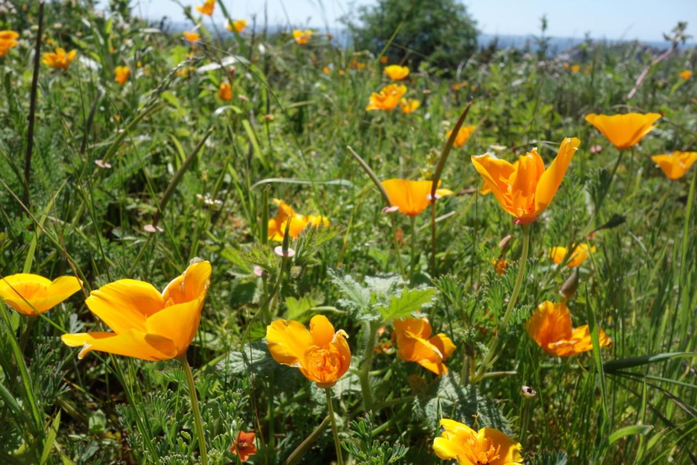 Golden Poppy (Point Lobos) Photo Credit: Evelyn Calhoon/M-A Chronicle