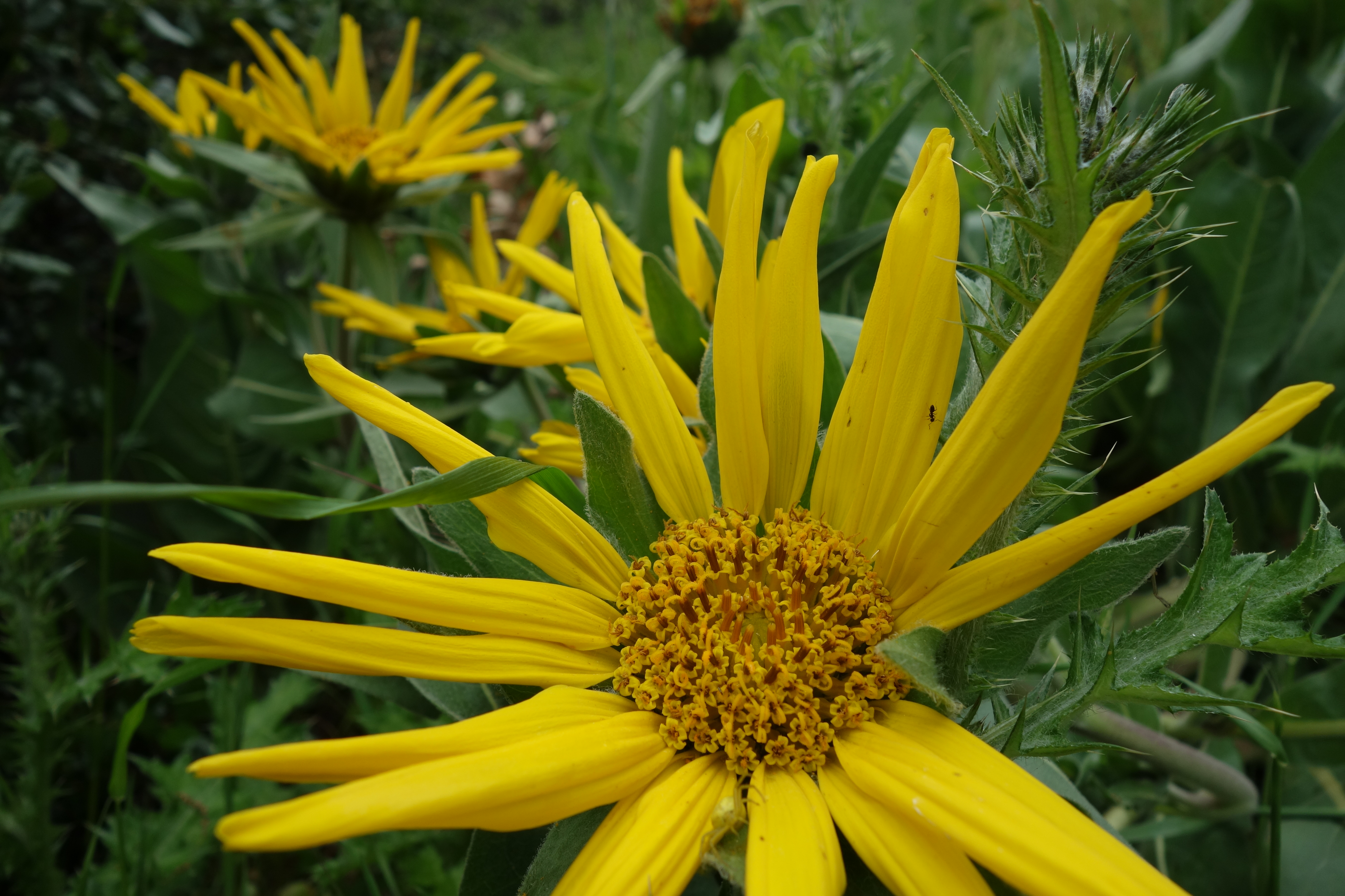 Mule Ears Flower (Sunol Regional Wilderness) Photo Credit: Evelyn Calhoon/M-A Chronicle