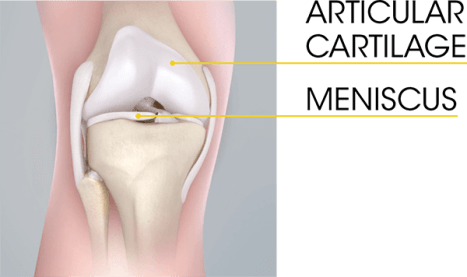 Knee cartilage anatomy