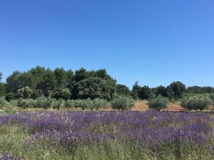 Lavande et oliviers à Jouques