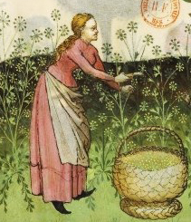 Woman wearing a cote and a simple apron harvesting dill, c. 1400